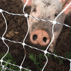 q farms pig