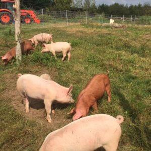 q farms pigs