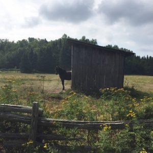 q farms horse